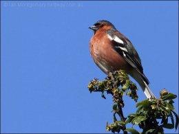 Precious Stones and Birds –Jacinth