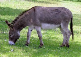 Singing Irish Donkey from DonkeyWhisperer