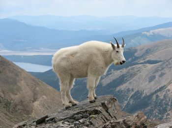 Wild Goat - Mountain Goat Mount Massive CO ©WikiC