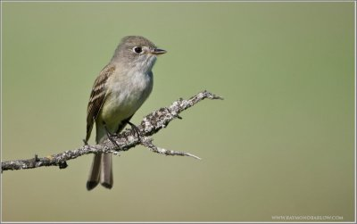 Least Flycatcher (Empidonax minimus) by Raymond Barlow