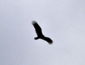 Turkey Vulture flying by - LPP