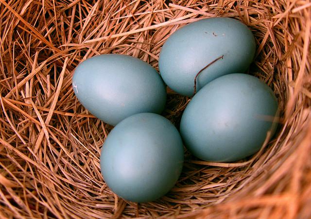 American Robin (Turdus migratorius) Eggs CCFlickr
