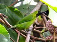Greater Green Leafbird (Chloropsis sonnerati) by Ian