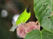 Lesser Green Leafbird (Chloropsis cyanopogon) by Ian