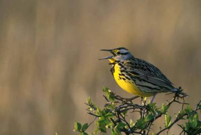 Western Meadowlark (Sturnella neglecta)©USFWS