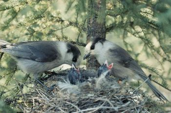 Grey Jay (Perisoreus canadensis) Feeding at Nest WikiC
