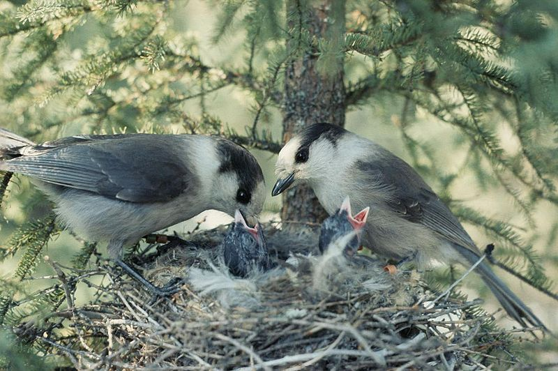 Grey Jay (Perisoreus canadensis) Feeding at Nest WikiC