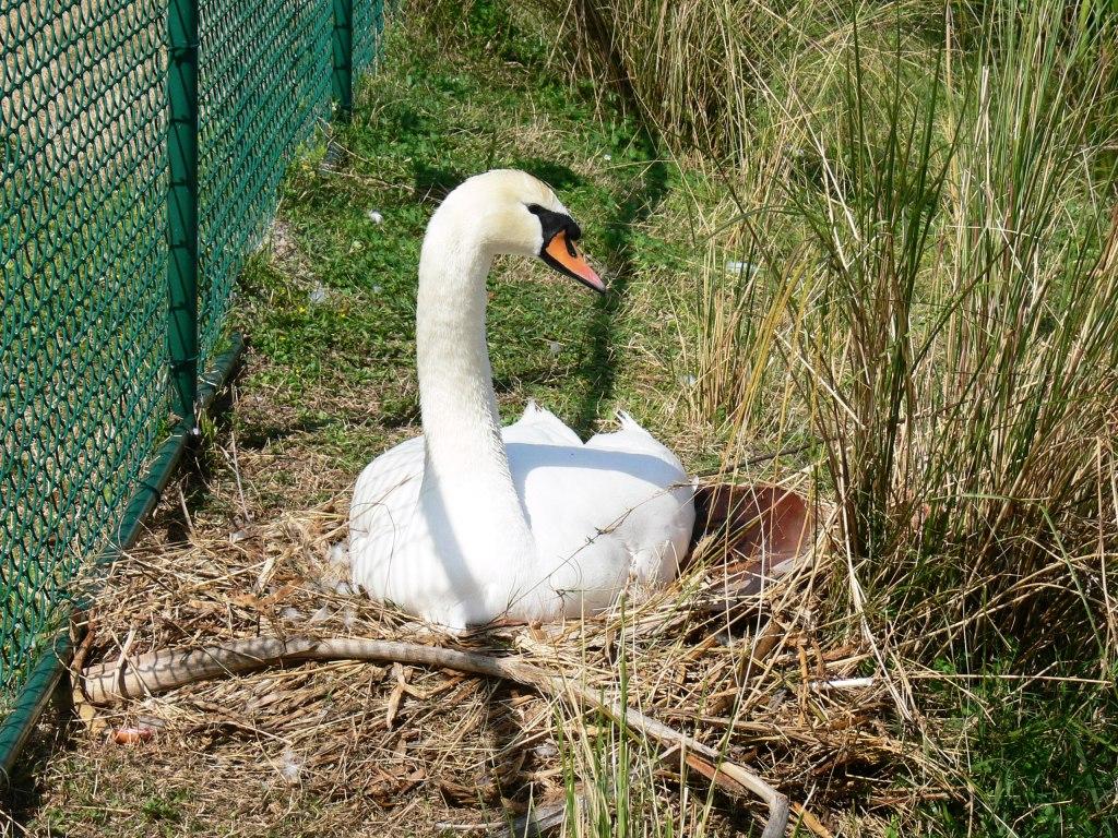 Mute Swan on Nest at Lake Morton