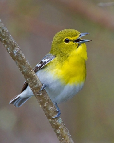 Yellow-throated Vireo (Vireo flavifrons) singing ©nebirdsplus