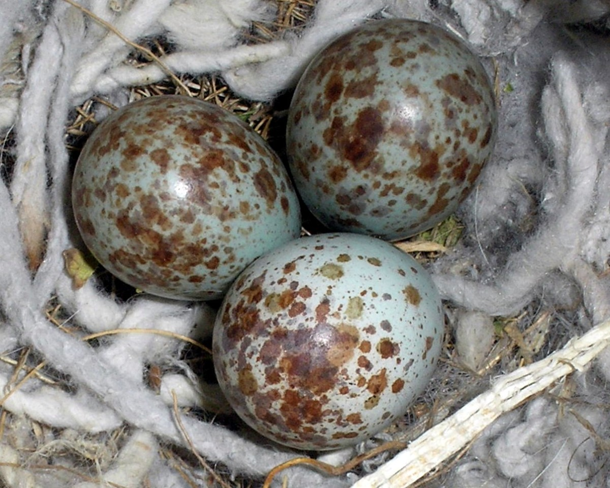 Northern Mockingbird (Mimus polyglottos) eggs ©WikiC