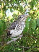 Northern Mockingbird (Mimus polyglottos) Juvenile ©WikiC