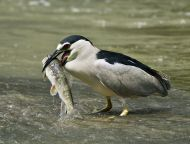 Black-crowned Night Heron (Nycticorax nycticorax) ©WikiC