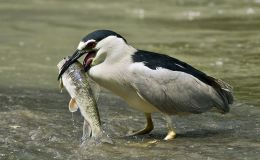 Heron Fishing With Bread and Patience