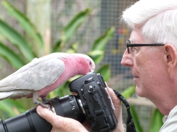 Galah (Eolophus roseicapilla) by Lee at Brevard Zoo