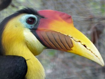 Wrinkled Hornbill (Aceros corrugatus) by Lee at Brevard Zoo