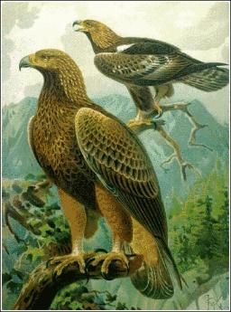 Golden Eagle ©PD