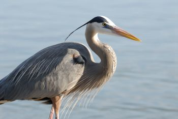 Great Blue Heron by Dan