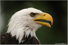 Bible Birds – Face of AnEagle