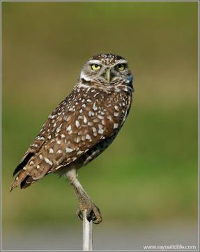 Little Owl (Athene noctua) by Raymond Barlow