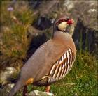 Chukar Partridge (Alectoris chukar) by Ian