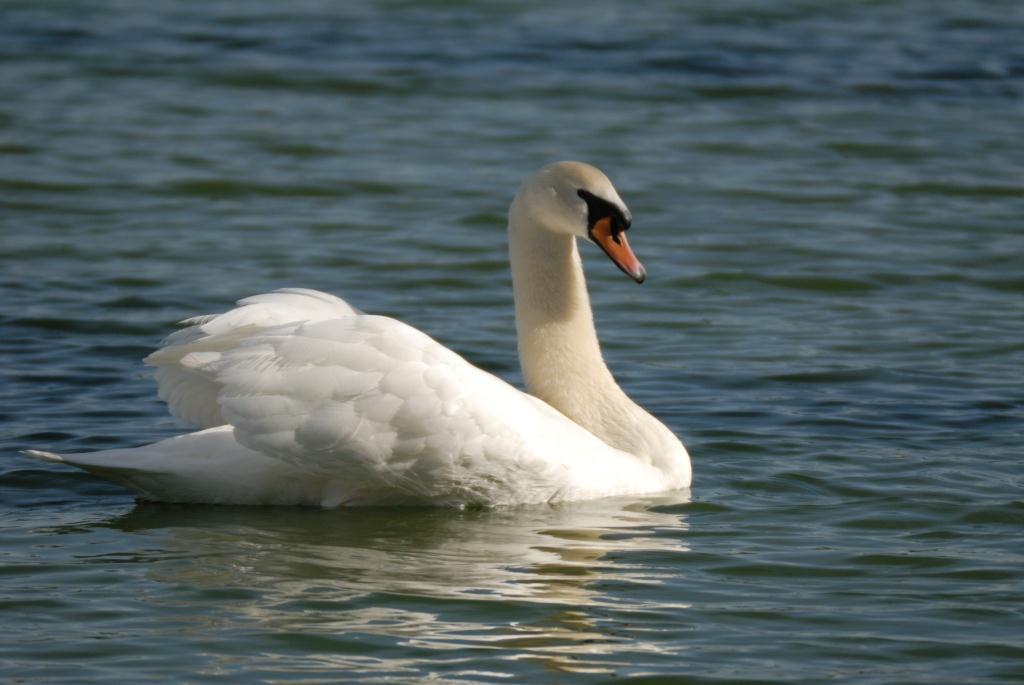 Swans   Birds of the B...