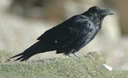 Raven That Shakes HisTail