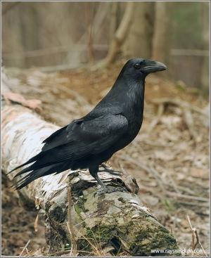 Northern Raven (Corvus corax) by Raymond Barlow