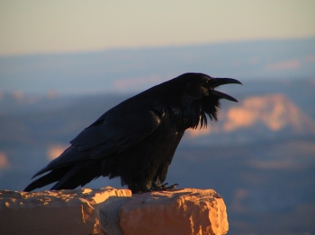Northern Raven (Corvus corax) ©CreationWikiC