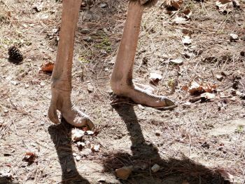 Common Ostrich (Struthio camelus) Foot at Riverfront Zoo SC by Lee