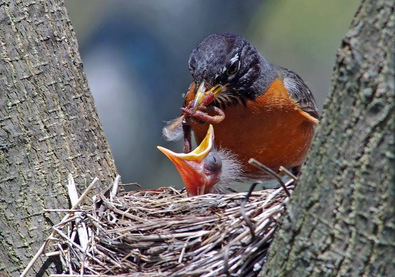 American Robin (Turdus migratorius) with youngstersby Raymond Barlow