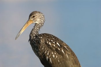Limpkin (Aramus guarauna) at Lake Morton by Dan