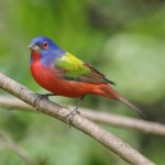Painted Bunting (Passerina ciris) ©©Flickr