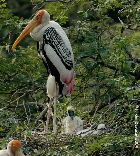Painted Stork (Mycteria leucocephala) w young by Nikhil Devasar