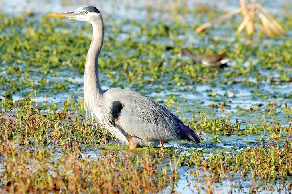 Great Blue Heron (Ardea herodias) at Circle B Bar Ranch, Winter Haven, FL By Dan'sPix