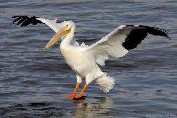 American White Pelican (Pelecanus erythrorhynchos) by AestheticPhotos