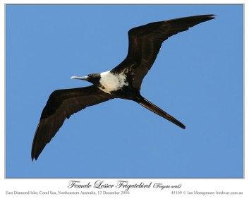 Lesser Frigatebird (Fregata ariel) by Ian