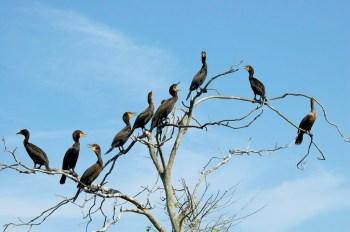 Double-crested Cormorant (Phalacrocorax auritus) at Lake John Rookery, Lakeland, FL By Dan'sPix.