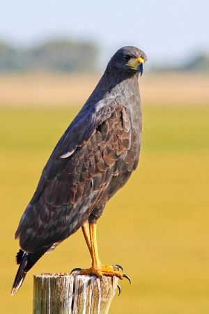Great Black Hawk (Buteogallus urubitinga) ©WikiC