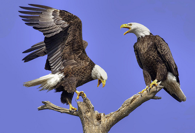 essay on eagle bird for kids