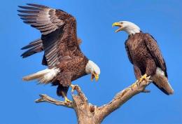 Bird Tales – Eagles andRavens