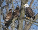 Bald Eagle (Haliaeetus leucocephalus) with youngsters by Raymond Barlow