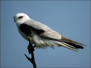 Black-shouldered Kite (Elanus axillaris) by Ian
