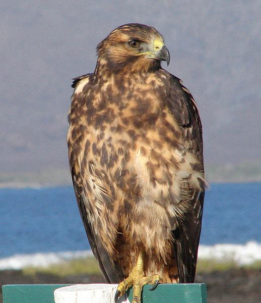Galapagos Hawk (Buteo galapagoensis) ©WikiC Juvenile