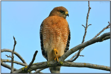 Red-shouldered Hawk (Buteo lineatus) by Daves BirdingPix