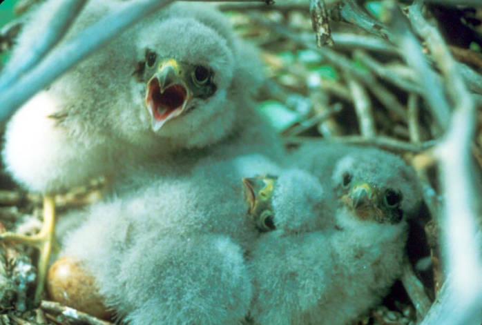 Merlin (Falco columbarius) chick in nest ©USFWS