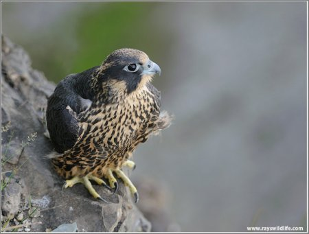 Peregrine Falcon on Watch! by Ray