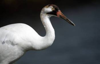 Whooping Crane (Grus americana) ©USFW