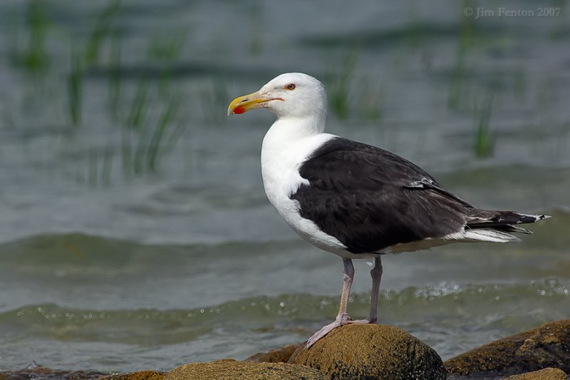 Great Black-backed Gull (Larus marinus) by J Fenton