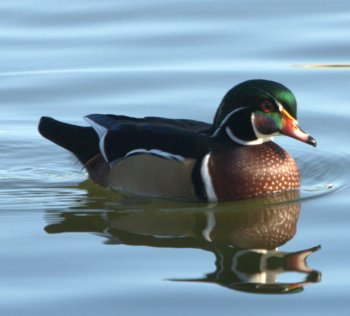 Wood Duck (Aix sponsa) at Lake Morton by Dan