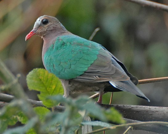 Common Emerald Dove (Chalcophaps indica) by Nikhil Devasar